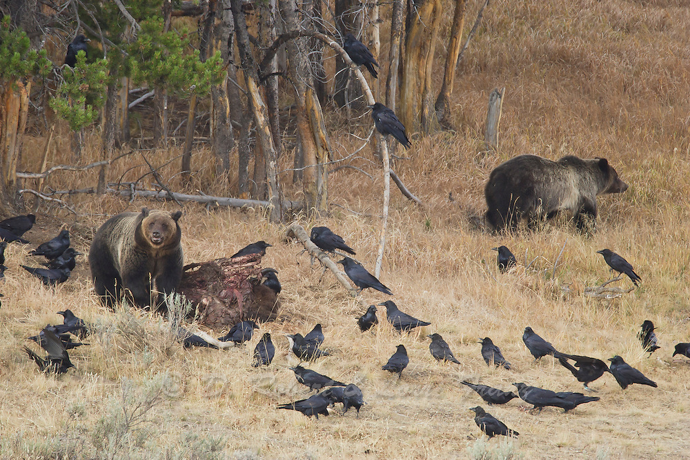 Grizzly bears in Wyoming feeding on bison with ravens watching