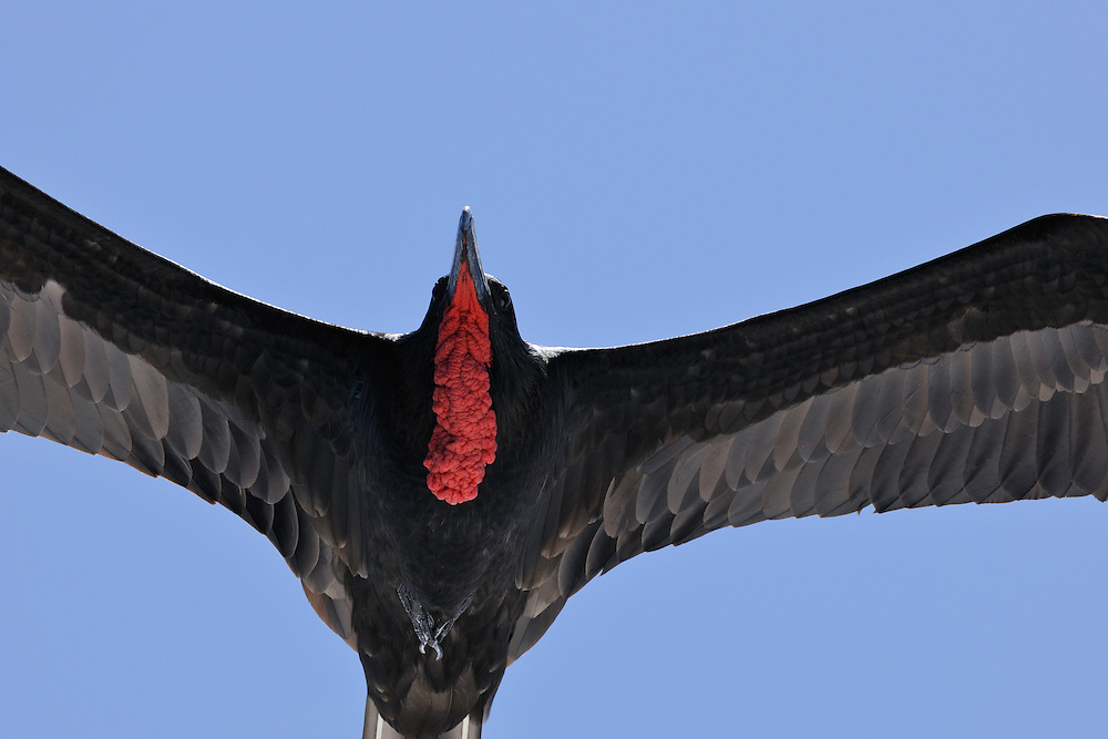 Great Frigatebird (Fregata minor) male, Galapagos, Ecuador.