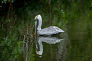 The brown pelican (Pelecanus occidentalis) is a small pelican found in the Americas. It is one of the best known and most prominent birds found in the coastal areas of the southern and western United States