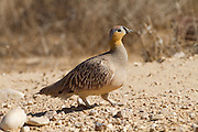 Crowned Sandgrouse (Pterocles coronatus) walking in the desert, negev, israel
