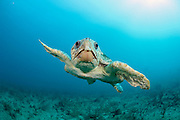 A Loggerhead Sea Turtle, Caretta caretta, swims offshore Palm Beach, Florida, United States.