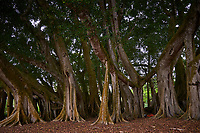 Banyan Trees at Selby Gardens in Sarasota, Florida. Image taken with a Nikon D300 camera and 14-24 mm f/2.8 lens.