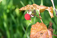 The thimbleberry is one of those often overlooked, highly under-appreciated wild berries that deserves a lot more credit that it gets. Found in all of the western states, and Canadian provinces and all around the Great Lakes, both in the United States and Canada the humble thimbleberry is considered by many to be superior than any raspberry. It is easily recognized in the wild by its large, papery maple-shaped leaves and completely thornless stalks. The tart, intensely fruity, high in Vitamin C berries are used to make some of the best jellies, and are often added to other berries such as blueberries, blackberries and raspberries to kick up the sweetness and flavor. This perfectly rip one was found (and eaten) above Lake McDonald in Montana's Glacier National Park.