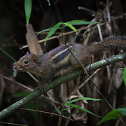 Indochinese Ground Squirrel (Menetes berdmorei) in Kaeng Krachan National Park, Thailand.