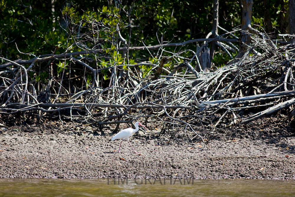 White Ibis bird, Eudocimus albus, by mangroves at Fakahatchee Strand in Everglades, Florida, USA