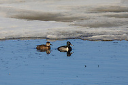 Hen and Drake Ring-necked ducks swim along an icy edge in late spring.