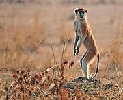 Patas Monkey, Erythrocebus patas, from Murchinson, Uganda.
