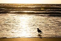 A kelp gull silhouetted on the beach at dawn, Buffalo Bay, Western Cape, South Africa