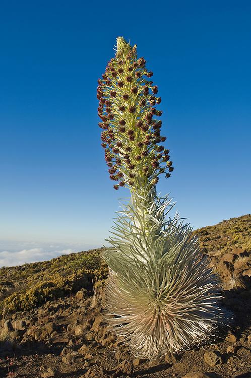 Silversword plant in bloom, Haleakala National Park, Maui, Hawaii.