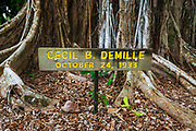 Celebrity planted banyan tree (Cecil B. DeMille) on Banyan Drive, Hilo, The Big Island, Hawaii USA