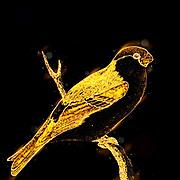 Digitally enhanced illustration on an Eurasian bullfinch (Pyrrhula pyrrhula) artwork