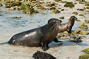 "The Galápagos Sea Lion (Zalophus wollebaeki) is seen on Isla Genovesa (or Tower Island), Ecuador, South America. This mammal in the Otariidae family breeds exclusively on the Galápagos Islands and in smaller numbers on Isla de la Plata, Ecuador. Being fairly social, and one of the most numerous species in the Galápagos archipelago, they are often spotted sun-bathing on sandy shores or rock groups or gliding gracefully through the surf. They have a loud ""bark"", playful nature, and graceful agility in water. Slightly smaller than their Californian relatives, Galápagos Sea Lions range from 150 to 250 cm in length and weigh between 50 to 400 kg, with the males averaging larger than females. Sea lions have external ear-like pinnae flaps which distinguish them from their close relative with whom they are often confused, the seal. When wet, sea lions are a shade of dark brown, but once dry, their color varies greatly. The females tend to be a lighter shade than the males and the pups a chestnut brown. In 1959, Ecuador declared 97% of the land area of the Galápagos Islands to be Galápagos National Park, which UNESCO registered as a World Heritage Site in 1978. Ecuador created the Galápagos Marine Reserve in 1998, which UNESCO appended in 2001."