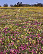 Drummond phlox (Phlox drummondii), bluebonnets (Lupinus subcarnosus), white prickly poppy (Argemone albiflora v. texana) and Texas groundsel (Senecio ampullaceus) fill a field in Atascosa County, TX / STX044