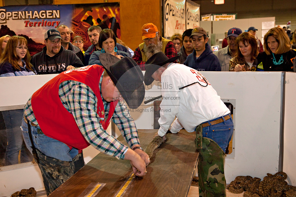 A Jaycee volunteer snake handlers measure a western diamondback rattlesnake as the crowd looks on during the 51st Annual Sweetwater Texas Rattlesnake Round-Up March 14, 2009 in Sweetwater, Texas. During the three-day event approximately 240,000 pounds of rattlesnake will be collected, milked and served to support charity.