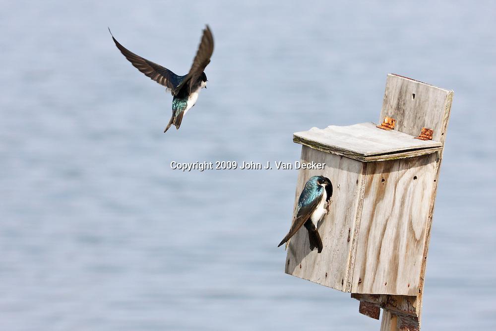 Tree Swallows at Birdbox