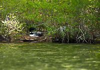 Nesting Loon seen while kayaking on Lake Wicwas.  ©2019 Karen Bobotas Photographer