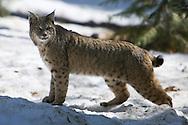 A bobcat (Lynx rufus) crosses a snowy meadow in Yosemite Valley