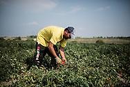 Foggia, Italia - 22 agosto 2013. Un immigrato albanese lavora in un campo di pomodori nei pressi di Foggia in Puglia.<br /> Ph. Roberto Salomone Ag. Controluce<br /> ITALY - An immigrant works in a tomato field near Foggia in the italian southern region of Puglia on August 22, 2013.