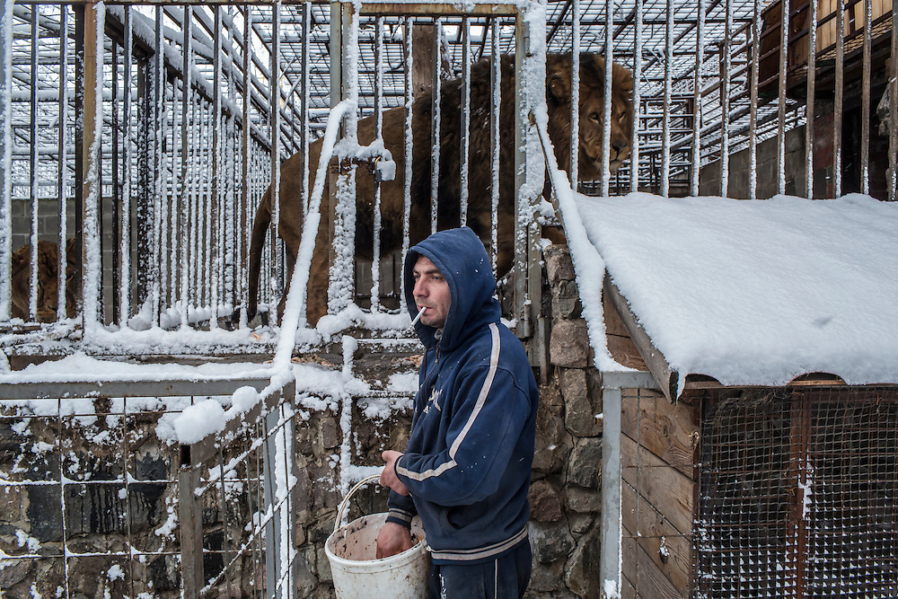 Pavel, an employee at the small local zoo, feeds raw chicken to one of the zoo's two lions on Saturday, March 19, 2016 in Sartana, Ukraine. The animals are due to be moved to a new zoo being constructed in nearby Mariupol due to the dangers of fighting around Sartana.