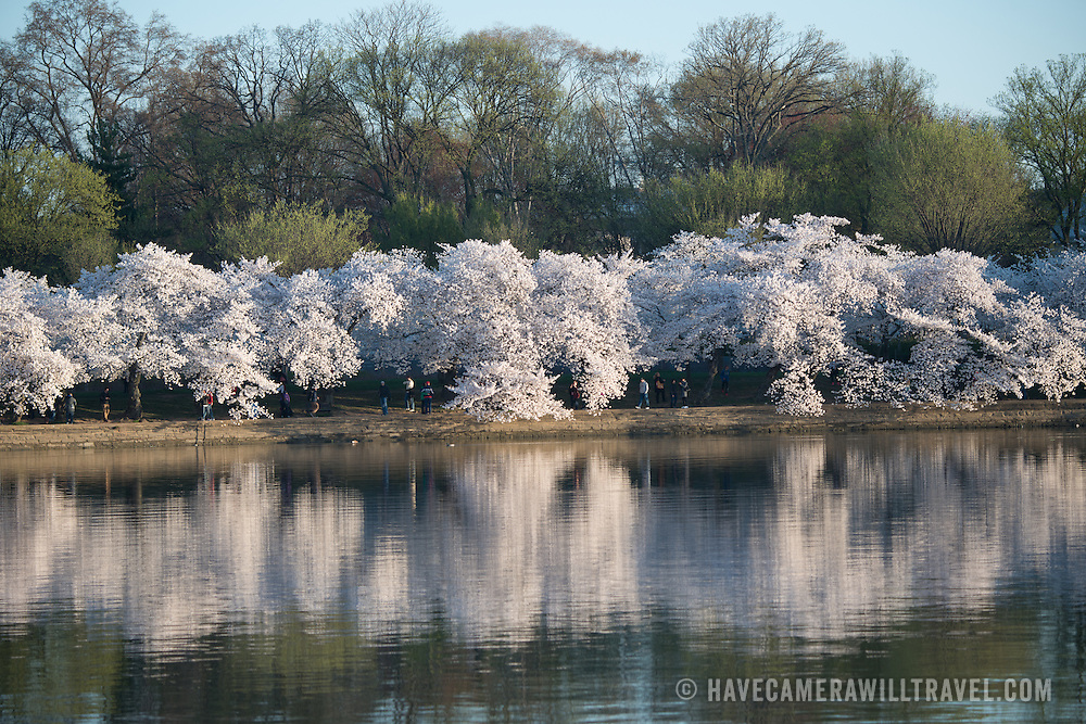 Washington DC's famous cherry blossoms are reflected on the still water of the Tidal Basin.