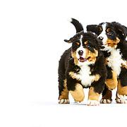 Judi - Bernese Mountain Dog Puppies