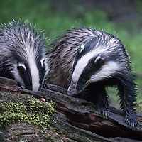 Two Badgers Feeding