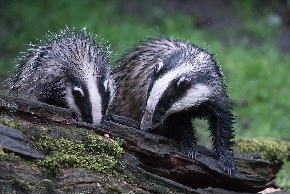 Two Badgers Feeding