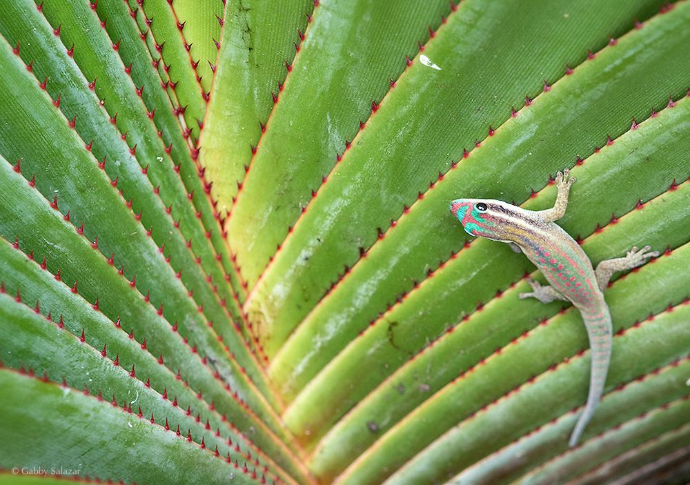 Phelsuma Ornata