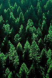 backlit douglas fir forest, Olympic National Park, Washington, USA