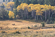 Bull elk bugling against backdrop of autumn Aspens.