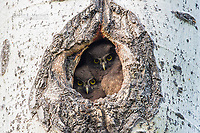 Boreal owl chicks in tree cavity