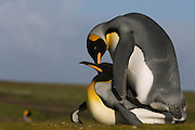 King Penguins (Aptenodytes p. patagonica) mating.<br /> Volunteer Point, Johnson's Harbour, East Falkland Island. FALKLAND ISLANDS.<br /> RANGE: Circumpolar, breeding on Subantarctic Islands. Extensive colonies found in South Georgia, Marion, Crozet, Kerguelen and Macquarie Islands. The Falklands represent its most northerly range. They are highly gregarious which probably accounts for it common association with colonies of Gentoo Penguins.<br /> King Penguins are the largest and most colourful penguins found in the Falklands. They have a unique breeding cycle. The incubation of one egg lasts for 54-55 days and chick rearing 11-12 months. As the complete cycle takes more than one year a pair will generally only breed twice in three years.