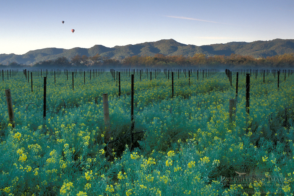 Hot air balloons rise in morning over vineyard filled with Mustard flowers in spring, Napa Valley Wine Country, California