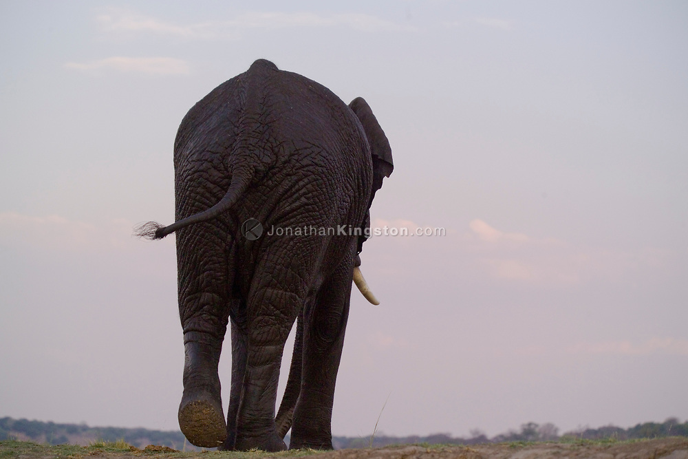 An elephant walks away from the river bank after swimming in the Chobe River in the Chobe National Park, Botswana. This area is home to the largest concentration of elephants in Africa.