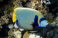 Emperor angelfish-Poisson ange empereur (Pomacanthus imperator) of Red Sea, Egypt.