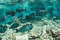 School of bumphead parrotfish feeding in shallow water, Sipadan, Sabah, Malaysia.