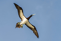 Adult Brown Booby in flight showing underwing patterns, D'Arros Island and St Joseph Atoll, Amirantees, Seychelles,