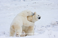 01874-11420 Polar Bears (Ursus maritimus) sparring, Churchill Wildlife Management Area MB