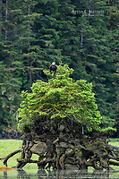 Bald eagle in the Khutzeymateen, British Columbia, Canada