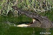 American crocodile or estuarine crocodile, Crocodylus acutus ( Endangered Species ), Northern Caye, Lighthouse Reef Atoll, Belize, Central America
