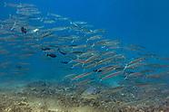 Sharpfin barracuda (Sphyraena acutipinnis)