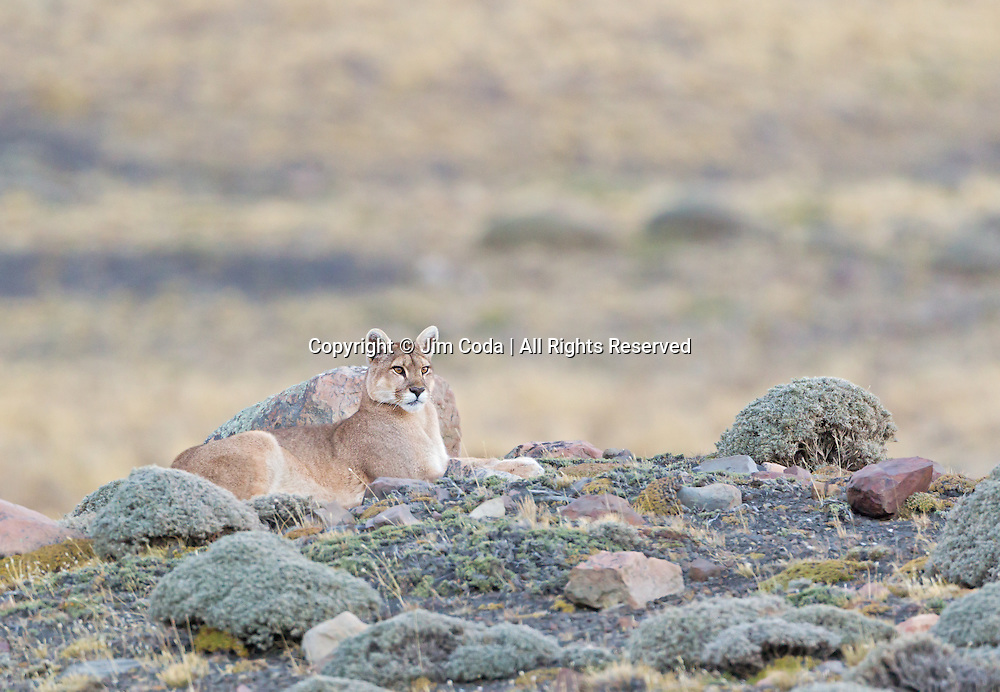 A Patagonian puma, rests at twilight.