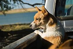 Jack russell in the back of a pickup truck looking out at a lake