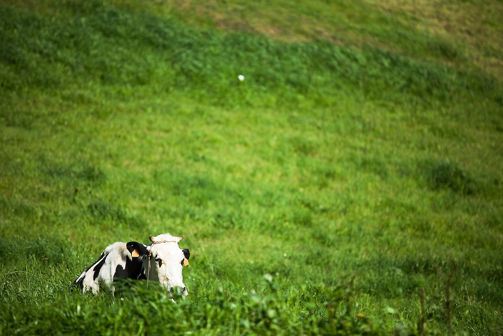 A Friesian cow eats grass in a field on the island of Faial.  The Azores are a group of islands under Portuguese sovereignty. They Mark the most westerly point of the E.U. and earn most of their income from agriculture and tourism.