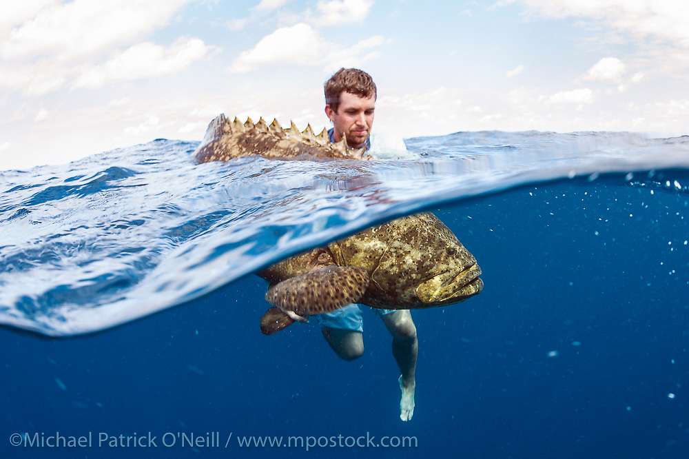 Sport Fisherman quickly revives and releases an endangered and protected Goliath Grouper, Epinephelus itajara, caught offshore Palm Beach, Florida, United States