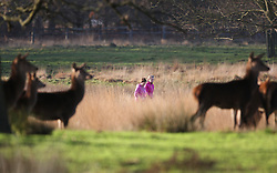© Licensed to London News Pictures. 23/12/2015. London, UK. Joggers run near deer in Richmond Park.  Photo credit: Peter Macdiarmid/LNP