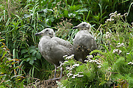 Immature Glaucous-Winged Gulls Perched on Cliffside, Alaska Maritime National Wildlife Refuge, California