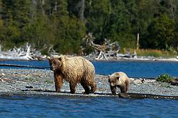 North American brown bear /  coastal grizzly bear (Ursus arctos horribilis) sow and cub walking along the banks of Skilak Lake / the Kenai River, Kenai National Wildlife Refuge, Alaska, United States of America