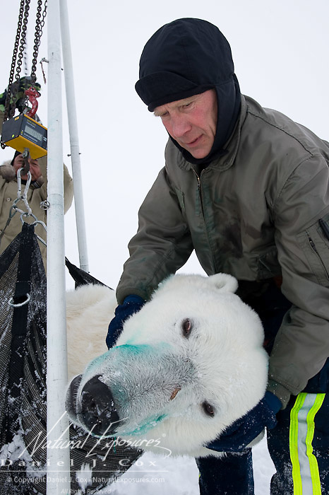 Dr Amstrup and crew take the weight of a polar bear on the Beaufort Sea, alaska.