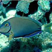 Ocean Surgeonfish inhabit reefs in Tropical West Atlantic; picture taken Grand Cayman.